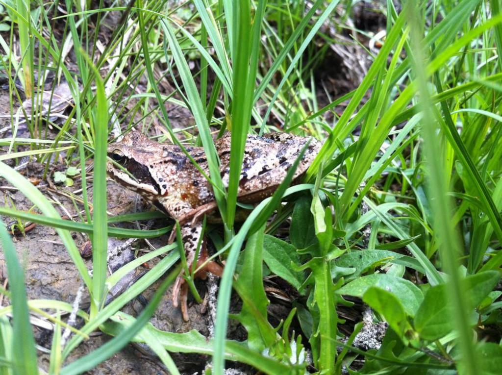 Grasfroggy